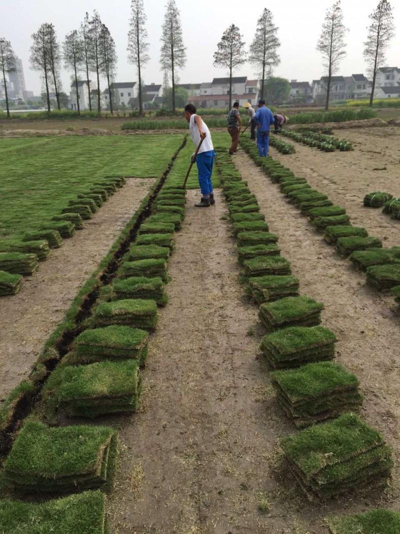 句容草坪直销基地供应优质绿化草坪-草种